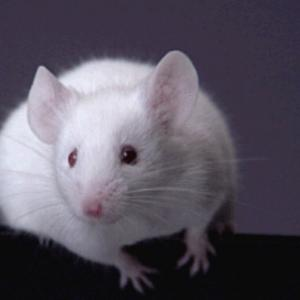 Cancer Patients Resting Drugs on Mouse 'Avatars'