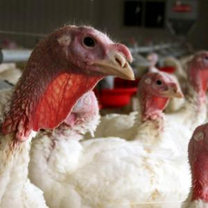 With Bird Flu Spreading, Usda Starts On Potential Vaccine