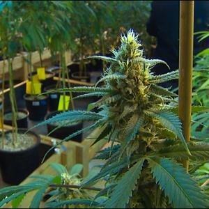 Tribes From Around US Gather to Discuss Legal Marijuana